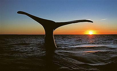 Whales in Whale season at Vleesbaai